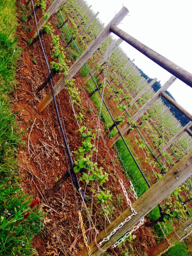 vines at Erath
